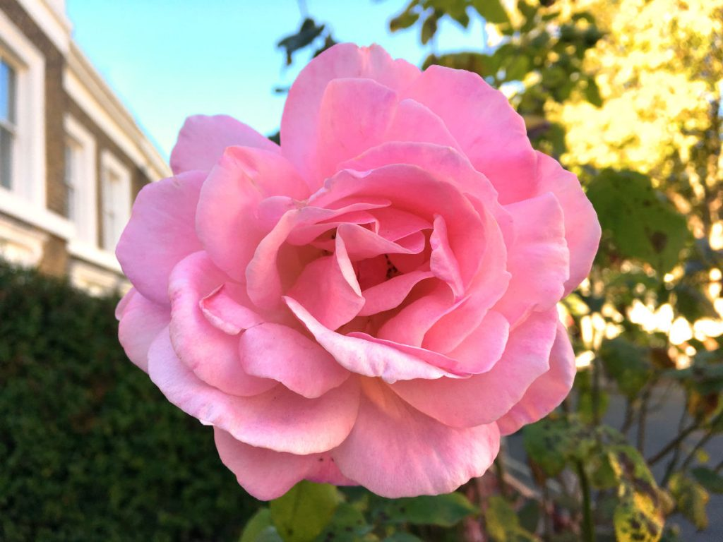 rose-front